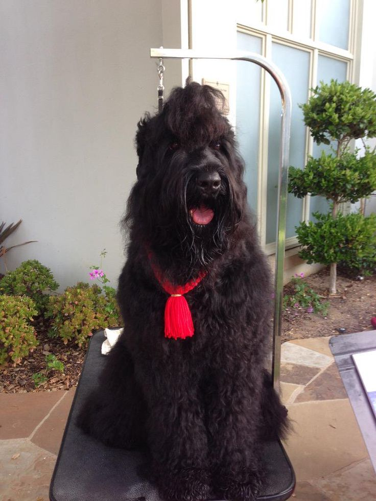 black russian terrier pet grooming instructions